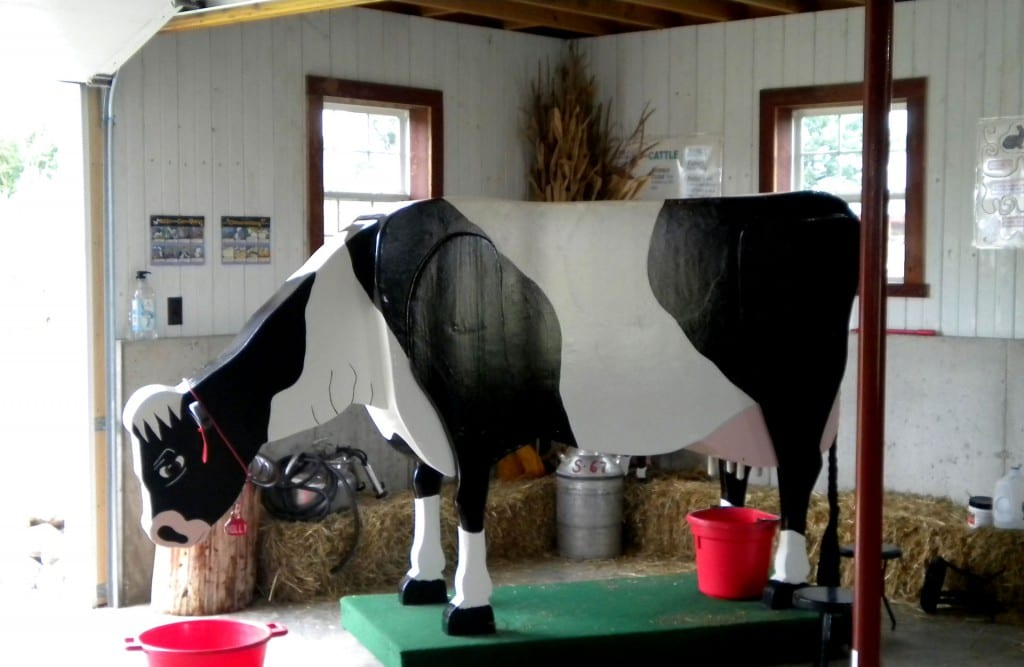 Holly the Holstein Cow loves to be milked.