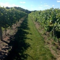 Vineyard at Burr Oak Winery.