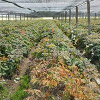 Ginseng Harvest