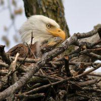 Bald Eagles in Sauk Prairie
