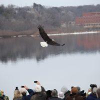 Bald Eagle Release in Sauk Prairie